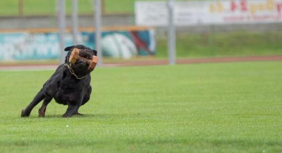 Vom Schloss Hexental Rottweilers Rottweiler Puppy For